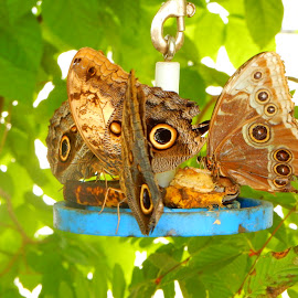 Scarce Morpho Butterflies by Kristine Nicholas - Novices Only Wildlife ( butterfly, spotted, green, feeding, insect, insects, leaves, macro, nature, butterflies, bugs, blue, nature up close, bug, multiple, moth,  )