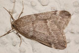 How to kill winter moths