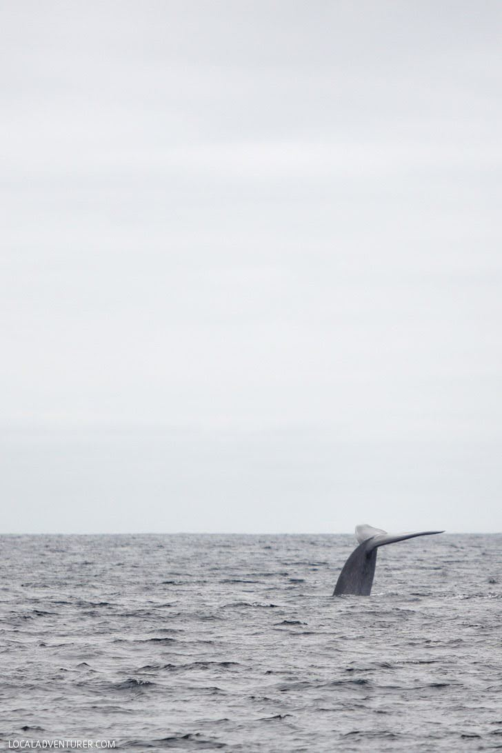 Fin Whale Tail Sighting with Pacific Nature Tours.