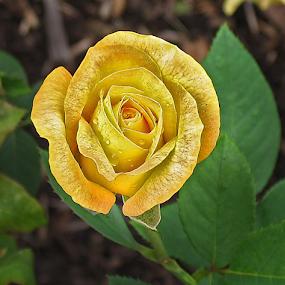 Yellow Rose by Gary Enloe - Flowers Single Flower ( plant, rose, yellow rose, thorns, flower )