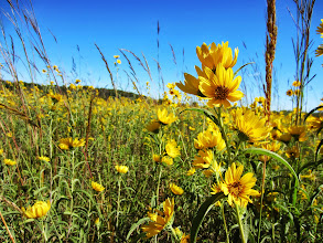 Photo: Golden field of yellow flowers under a bright blue sky at Carriage Hill Metropark in Dayton, Ohio.