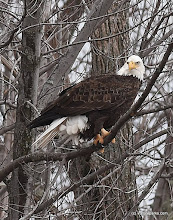 Photo: A Bald Eagle keeps a watchful eye at Sand Bar State Park by Raven Schwan-Noble.