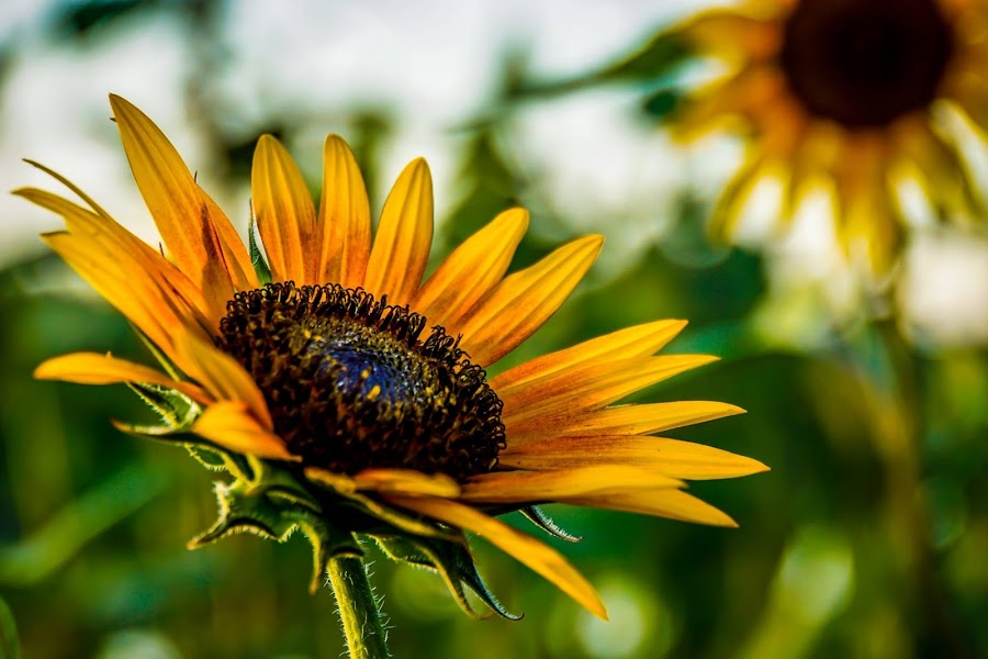 Sunflower by Alice Burghart - Flowers Flowers in the Wild