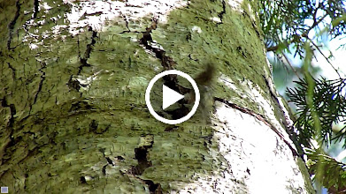Video: Brown Creeper building nest in a crack in the bark of a dead Alder. It had to figure out how to get the long twig through the narrow gap.
