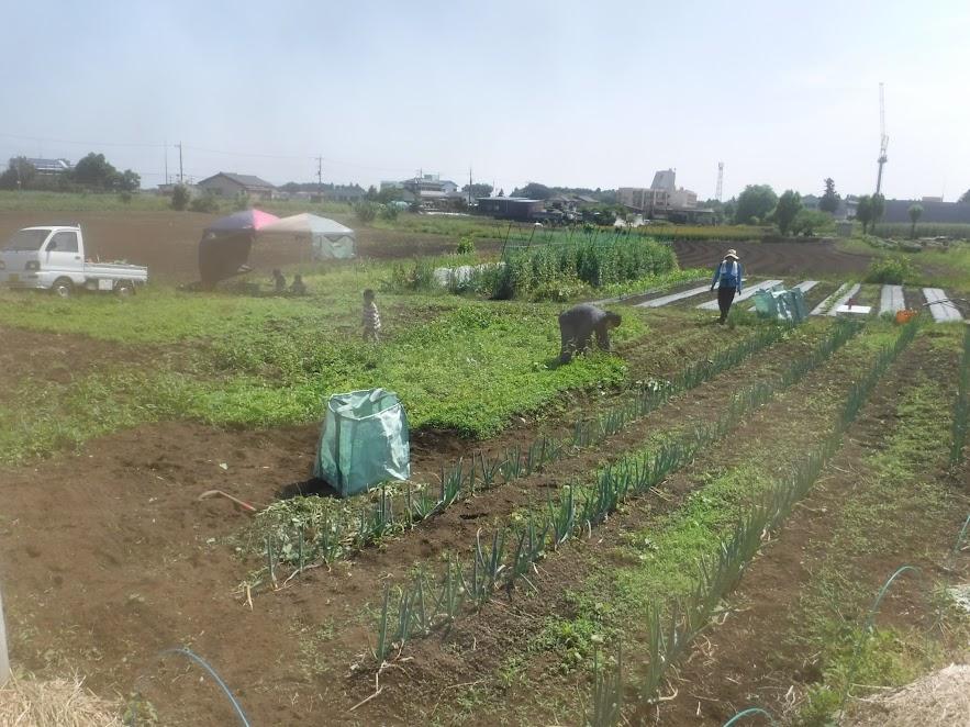 5/29 草取り始めたところ。定植してあるネギのところも草が生えています。