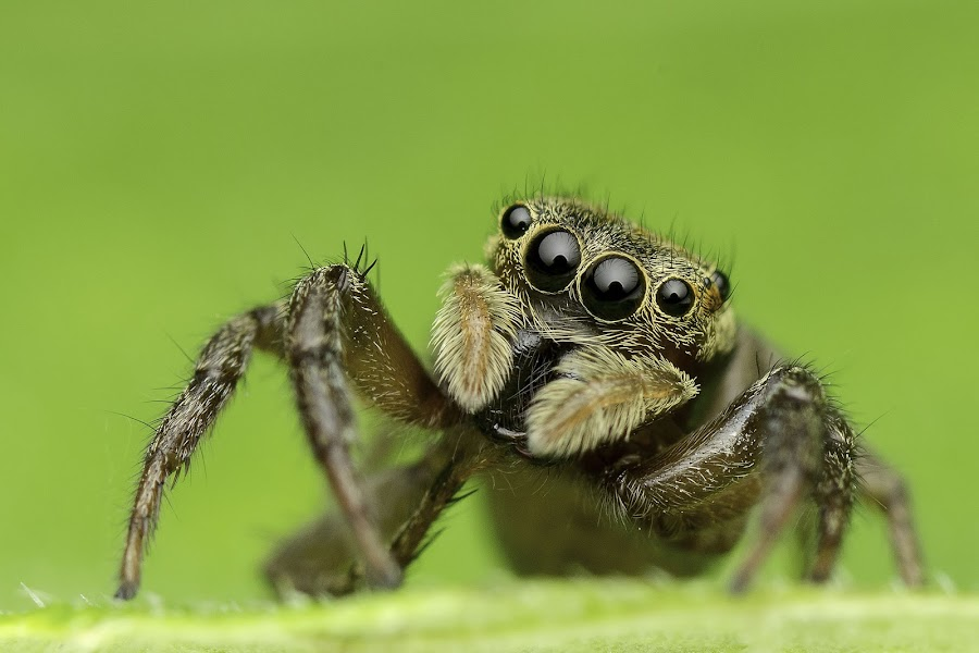 by Marcus Kam - Animals Insects & Spiders ( macro, nature, green, jumping spider, insects, close up )