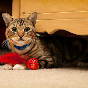 Max by Beth Ann - Animals - Cats Portraits ( cat, toy, rescue, play, tabby, bengal )
