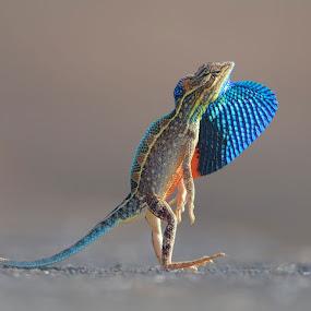 Sitana by Raj Dhage - Animals Reptiles