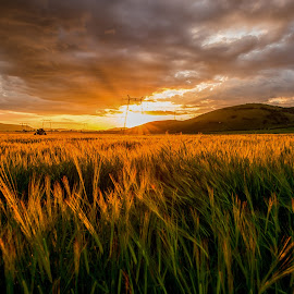 Summer sunset by Stefan Sorean - Landscapes Sunsets & Sunrises ( sky, harvest, sunrise, nature, rural, yellow, sun, summer, scene, agriculture, field, background, sunset, plant, farm, wheat, growth, grain, landscape, meadow, crop )