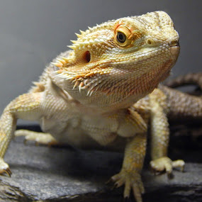 by Brian Baggett - Animals Reptiles (  )