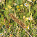 Eggar caterpillar