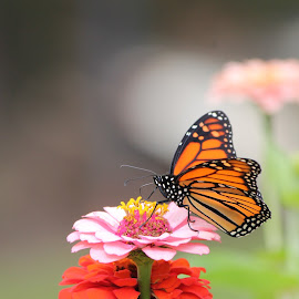 by Chastity  Fox - Flowers Flowers in the Wild ( outdoor, nature, butterfly, monarch, flower,  )