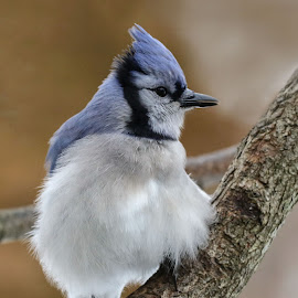 Keeping Warm by Kathy Jean - Animals Birds ( bird keeping warm, jay, blue jay, bird, animal )