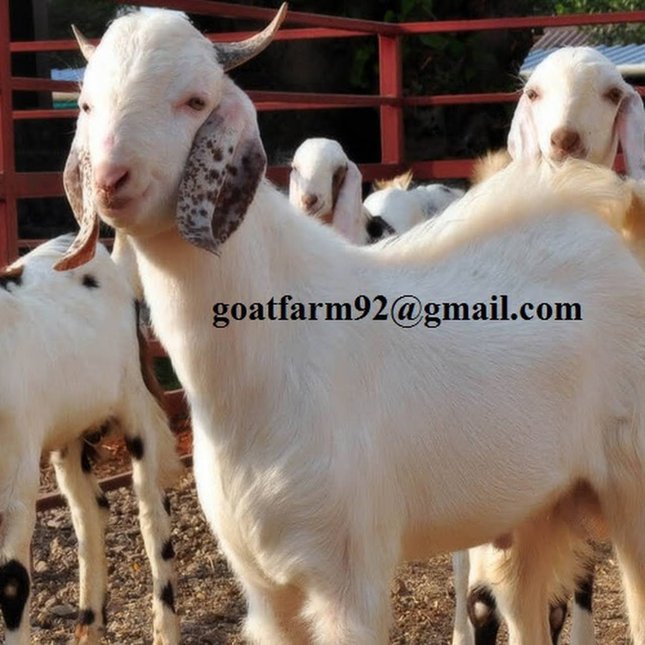 Goat Farming startup - Goat Farm startup
