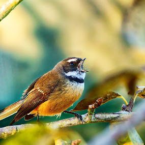 Fantail by Aram Becker - Animals Birds ( bird, chirp, loud, twig, branch, fantail )