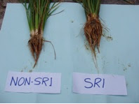Photo: A comparison of rice plants grown with SRI and with non- SRI methods as part of an SRI field trial conducted by Bhutan's College of Natural Resources during the 2008 growing season.  [Photo courtesy of Kharma Lhendup, Bhutan, 2008]