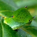 Tailed Jay butterfly Caterpillar