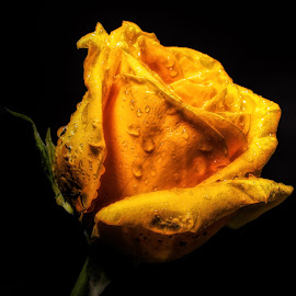 Yellow Rose Of Texas by Dave Walters - Flowers Single Flower ( flowers, nature, l:umis fz2500, rose, colors,  )