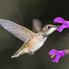 Hummingbird by Jerry Hoffman - Animals Birds (  )