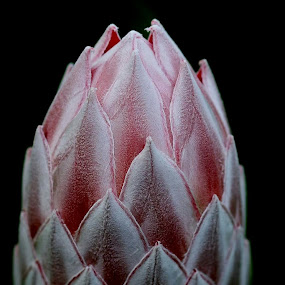 Protea by René Wright - Flowers Single Flower ( kleinmond, star of flower, south africa, protea, botanical, fauna and flora,  )