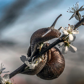 snail 2 by Eddie Leach - Animals Insects & Spiders ( macro, nature, nature up close, snail, flower,  )