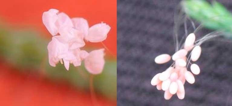 Cây quý trổ kỳ hoa, đại gia Hà Nội mừng rỡ - Ảnh 3