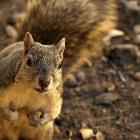 Angry by Jerzy Szablowski - Animals Other Mammals ( pasadena, california, brown, gold, squirrel, olympus )