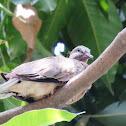 Dove (chick)