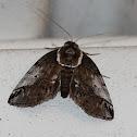 Eyed Baileya Moth