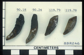 Photo: Hafted canine teeth are also cutting tools.  May have been used on bone and antler but the glue on the hafted end still survives after 8,000 years,  Wet sites are amazing.  Probably domestic dog.  My, what nice teeth you have.  Pretty sure Fido was also food.  Bet it does not taste like chicken.
