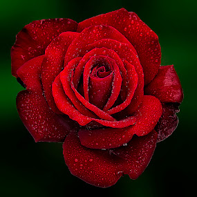 red rose by Fadly Shaputra - Nature Up Close Flowers - 2011-2013
