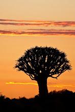 Photo: Quiver Tree at sunset, Namibia