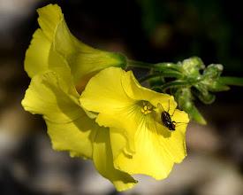 Photo: Oxalis pes-caprae