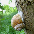 Burgundy snail or Escargot / Vinogradarski puz