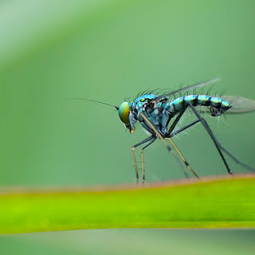 Long Leg Fly by Yan Kebak - Animals Insects & Spiders