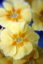 Photo: Yellow Primulas - prints & cards here - http://www.inspiraimage.com/index.php/gallery/flowers/239-yellow-primulas