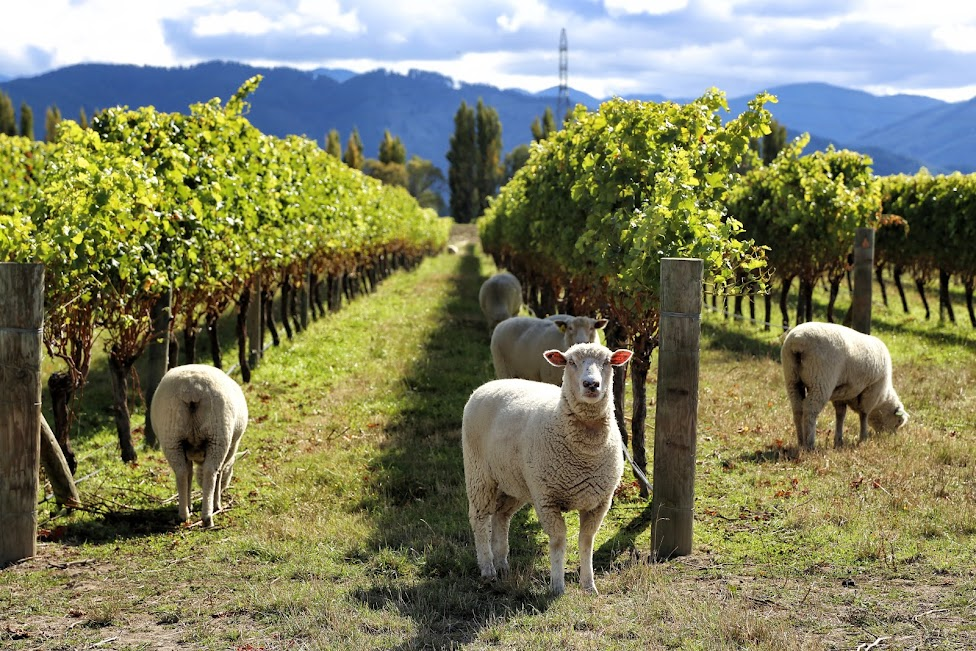 Winnice, owce - Nowa Zelandia