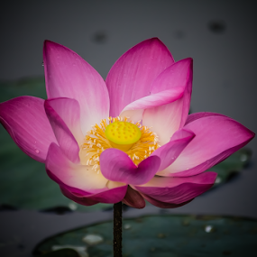 Lotus Flower by Jane Helle - Nature Up Close Flowers - 2011-2013 ( water plant, nature, still, close up, flower, lotus flower, petal )