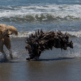 Beach play by Chris Seaton - Animals - Dogs Playing ( ocean, beach, dogs playing, dogs, playful )