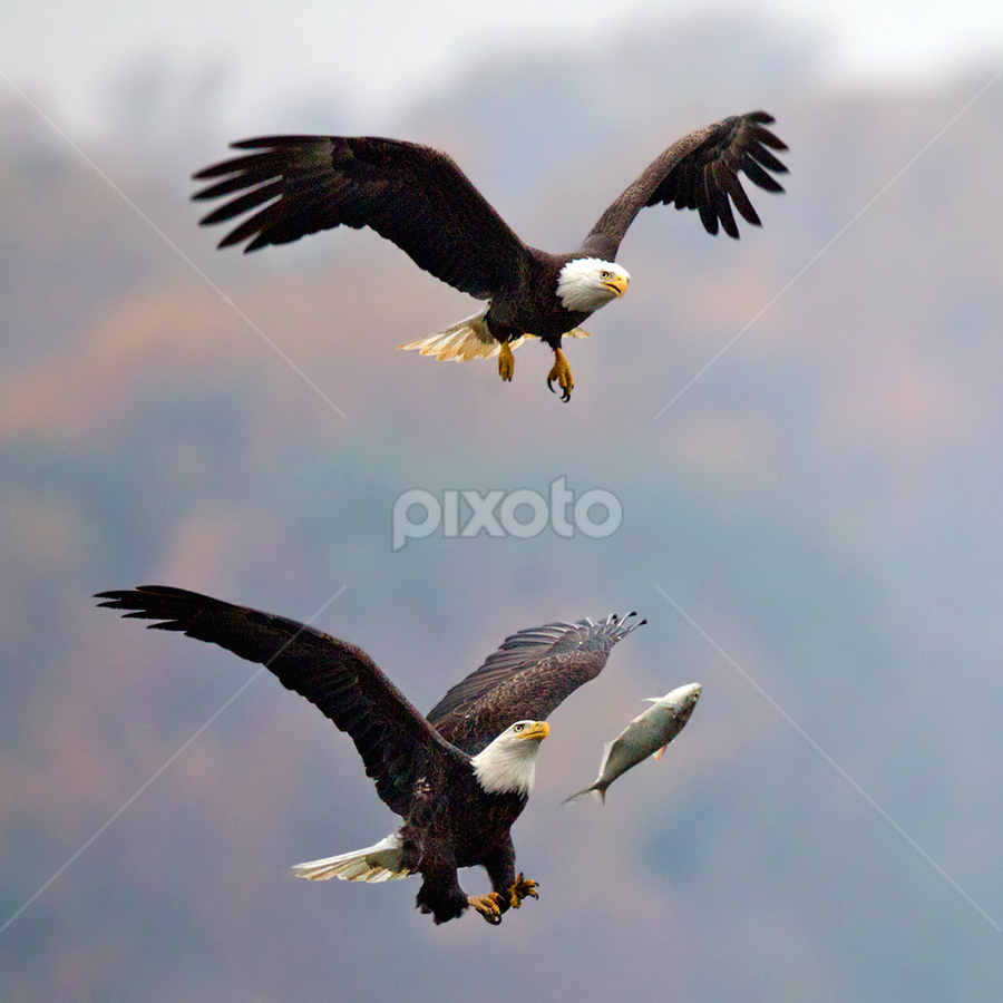 Flying Fish by Herb Houghton - Animals Birds ( fish steal, bird of prey, eagle, bald eagle, fantastic wildlife, raptor, fish chase )