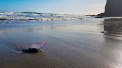 Carabela portuguesa (Physalia physalia) en Cabo de Gata. Foto: Emilio Ridao.