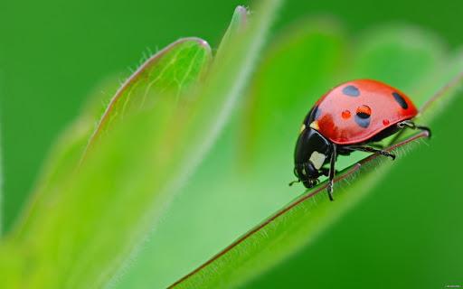Ladybug Pack 2 Live Wallpaper