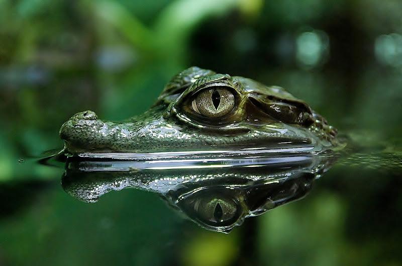 Il riflesso del caimano di BASTET-Clara