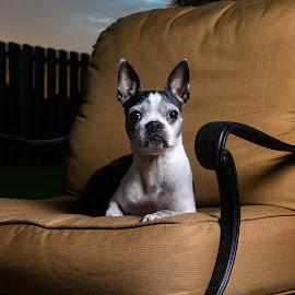 Frostie Bostie by Tony Richard - Animals - Dogs Portraits