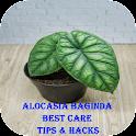 Alocasia Baginda Best Care Tips & Hacks icon