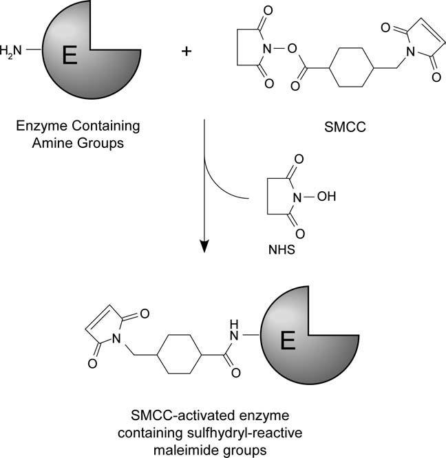 Protein protein conjugation using SMCC