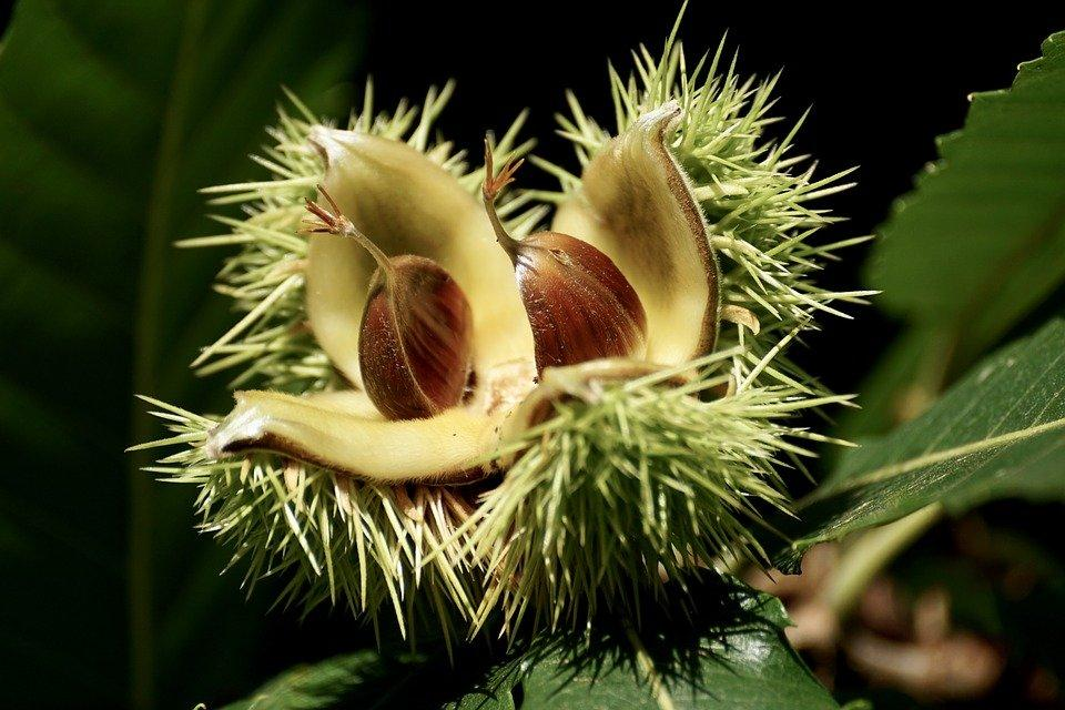 Chestnut Tree Fruit Opening
