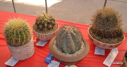 Photo: Echinocactus, Ferocactus, Hamatocactus