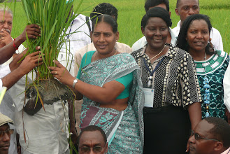 Photo: SRI rice plant shown during 2010 visit of African delegation to India [Photo Courtesy of  Bancy Mati]