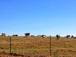 Photo: Cows enjoying a the clear morning.